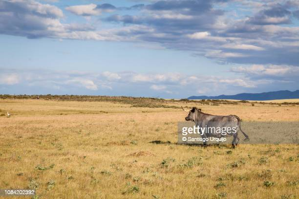 Bull running on a field