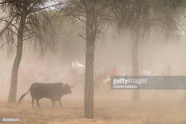 A bull runs past horsemen during the 'Toro de la Pena' festival former known as 'Toro de la Vega' in the central Spanish town of Tordesillas on...