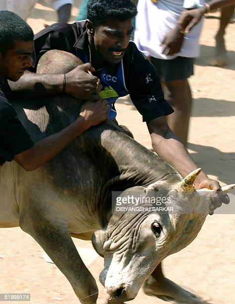 A bull runs through a crowd with a two Indian bullfighters hanging from it's back during a bull taming festival popularly known as 'Jallikattu' in...