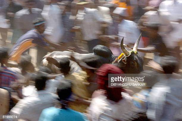 A bull runs through a crowd with a young Indian bullfighter hanging from it's back during a bull taming festival popularly known as 'Jallikattu' in...
