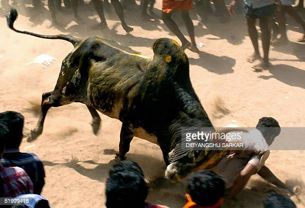 A bull runs through a crowd with a young Indian bullfighter hanging from it's horns during a bull taming festival popularly known as 'Jallikattu' in...