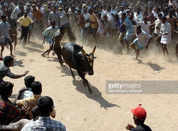 A bull runs towards a crowd of Indian bullfighters during a bull taming festival popularly known as 'Jallikattu' in the village of Alanganallur some...