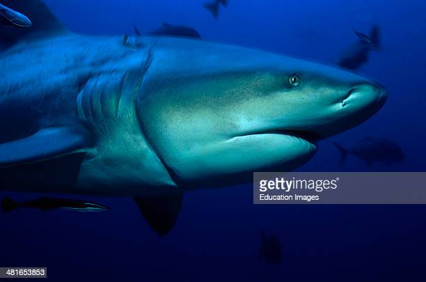 Bull Shark, Carcharhinus leucas, could be dangerous to humans, often stays in the shallow water near the shore and in the estuaries of rivers. Here...