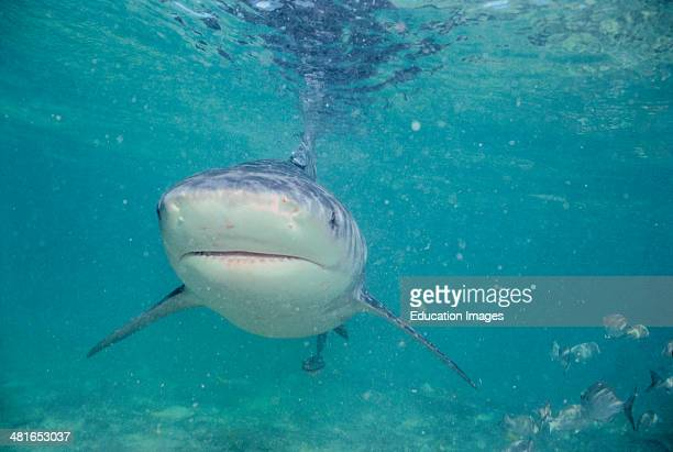 Bull Shark Carcharhinus leucas in shallow water belongs to the dangerous sharks and can be dangerous to humans It often stays in the shallow water...