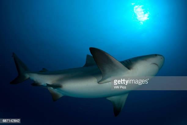 Bull shark Carcharhinus leucas portrait on their anual migration for reproductive purposes to Riviera Maya Playa del Carmen Yucatan peninsula Mexico