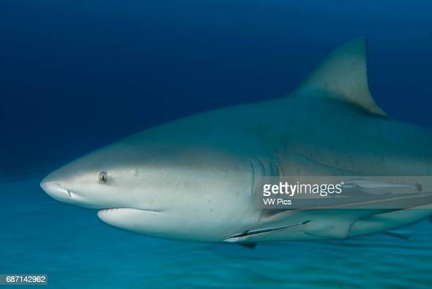 Bull shark, Carcharhinus leucas, portrait on their anual migration for reproductive purposes to Riviera Maya, Playa del Carmen Yucatan peninsula...