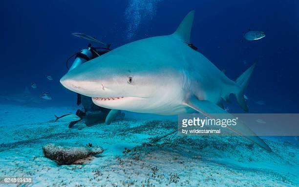 Bull Shark Feeding Dive