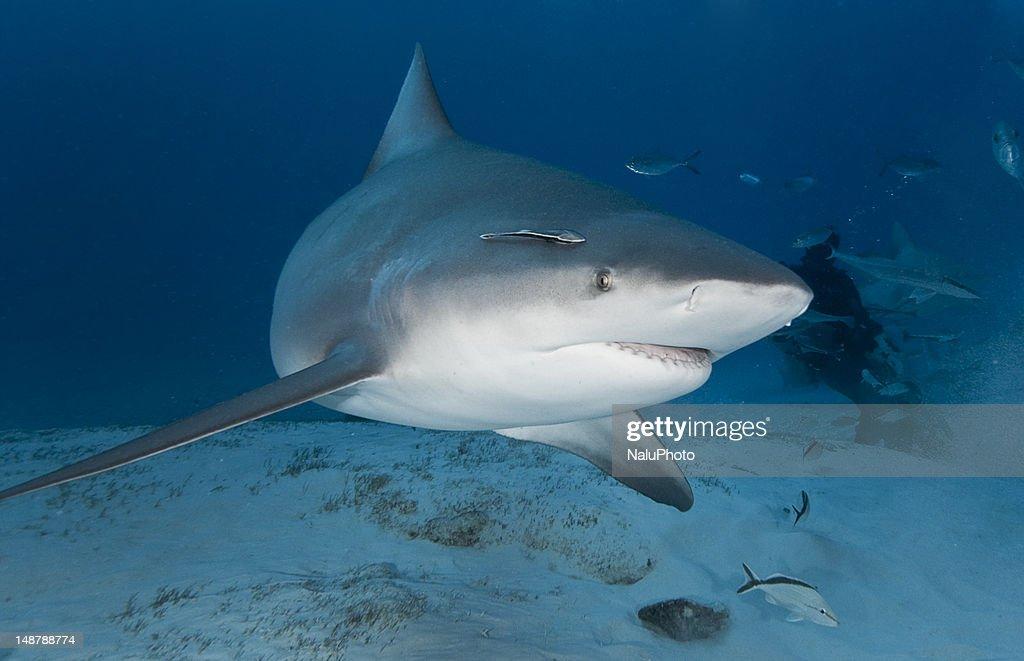 Bull Shark in Deep Water : Stock Photo