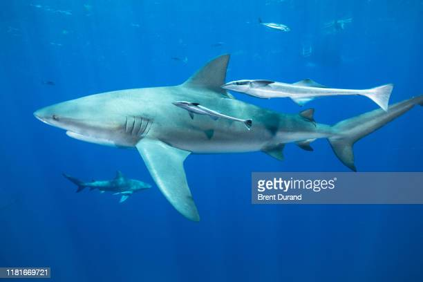 bull shark (carcharhinus leucas) in palm beach florida. - bull shark stock pictures, royalty-free photos & images
