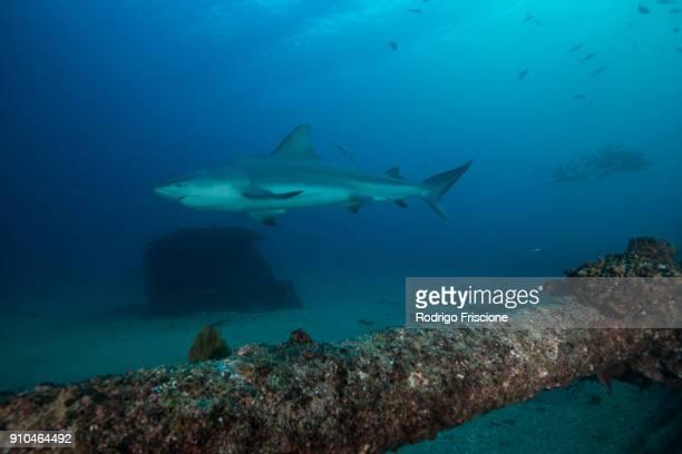 Bull shark, Punta Baja, Baja California, Mexico