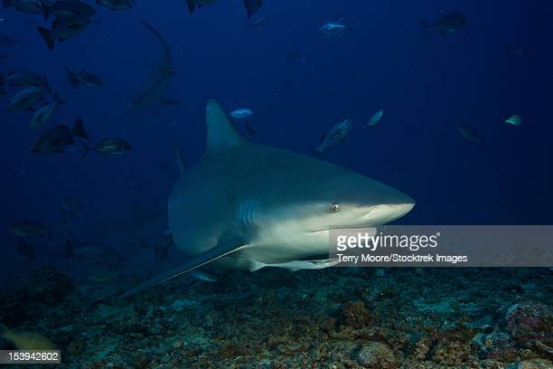 bull shark surrounded by reef fish, fiji. - bull shark stock pictures, royalty-free photos & images