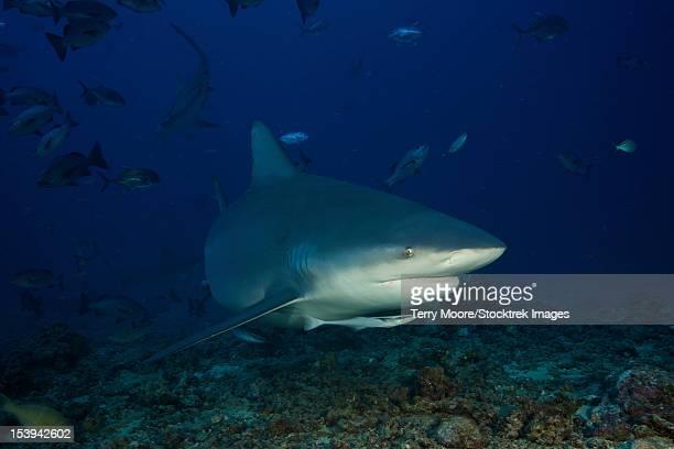 Bull shark surrounded by reef fish, Fiji.