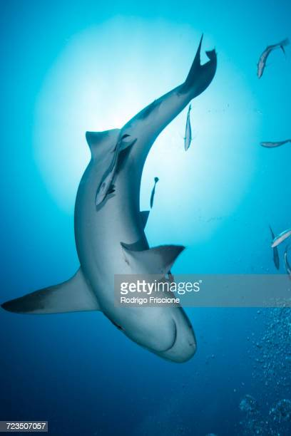 bull shark (carcharhinus leucas), surrounded by small fish, underwater view, playa del carmen, quintana roo, mexico - bull shark stock pictures, royalty-free photos & images