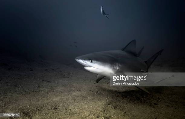 bull shark swimming, santa luchia, cuba - bull shark stock pictures, royalty-free photos & images