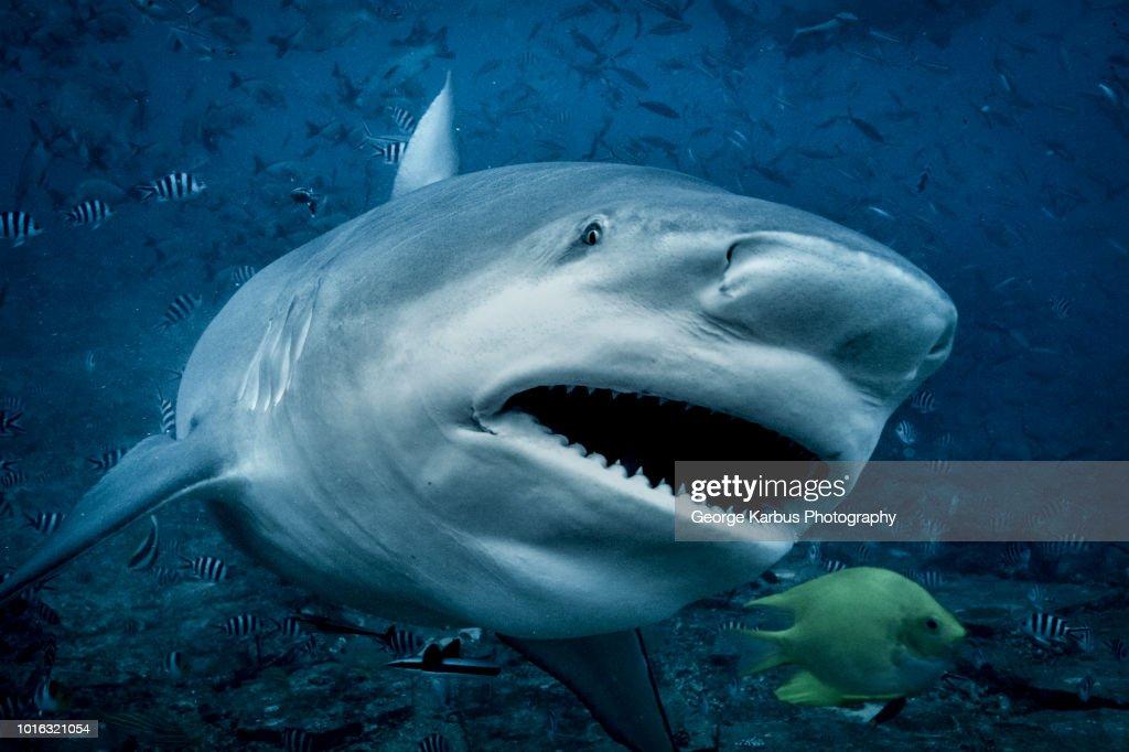 Bull shark (Carcharhinus leucas), swimming towards camera, underwater view, Beqa Lagoon, Beqa, Fiji : Foto de stock