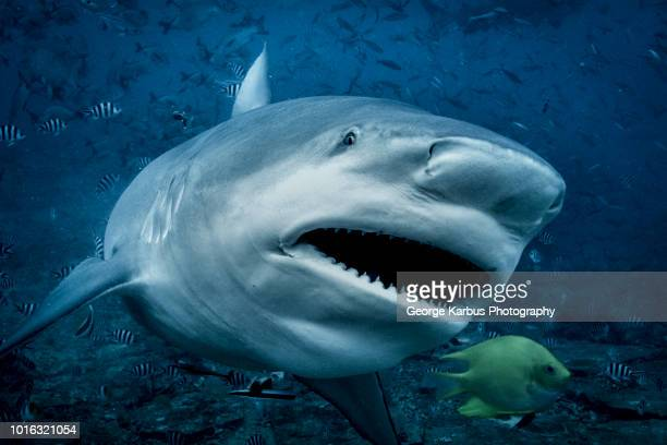 bull shark (carcharhinus leucas), swimming towards camera, underwater view, beqa lagoon, beqa, fiji - bull shark stock pictures, royalty-free photos & images