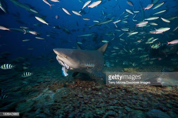 A bull shark swoops and picks up one of the many large tuna heads laying on the reef floor, Fiji.