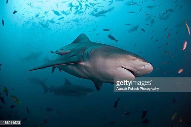 Bull shark with school of fish