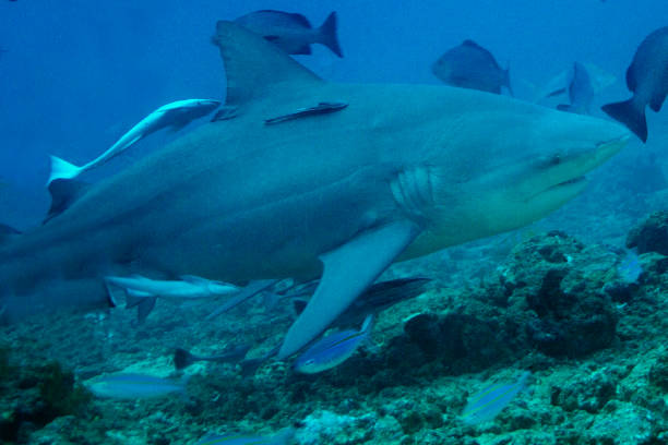 Bull Shark with Sharksuckers