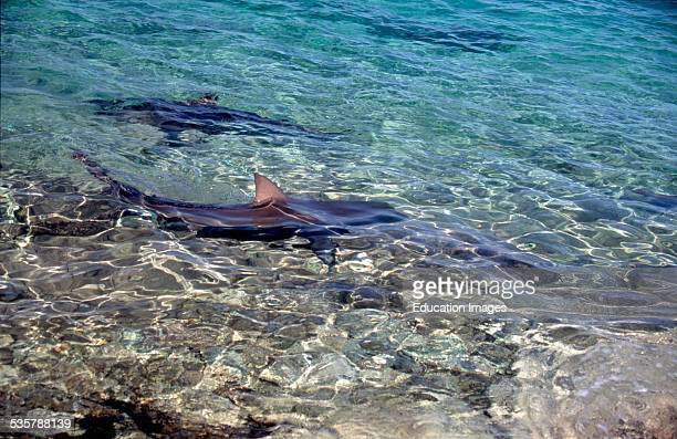 Bull sharks Carcharhinus leucas in shallow water in search of food on beach of Walker's Cay the northernmost of the 700 Bahamas Islands Mostly they...