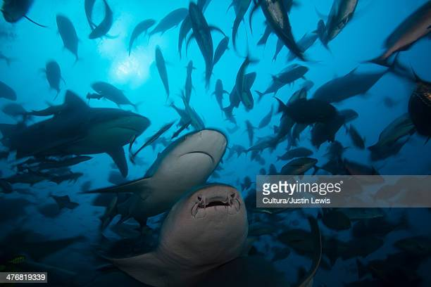 bull sharks hunting in school of fish - nurse shark stock photos and pictures