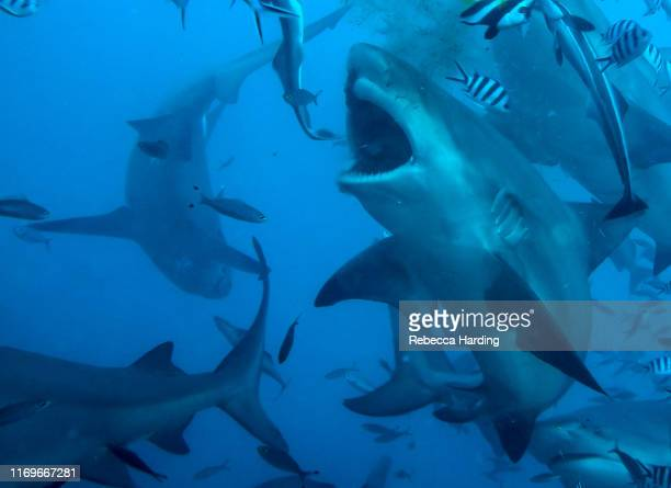 bull sharks - bull shark stock pictures, royalty-free photos & images