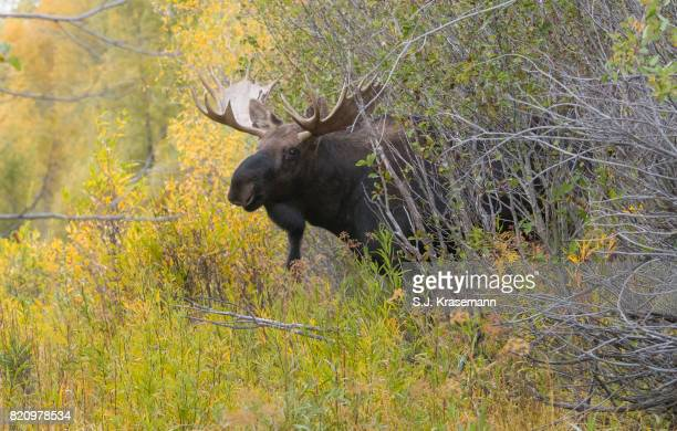 Bull Shiras Moose looking out from behind autumn scrubland.