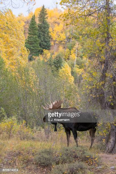 Bull Shiras Moose standing in autumn forest, Grand Teton National Park, Wyoming.