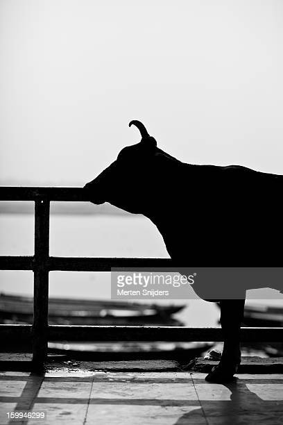 bull silhouette at ganga river - merten snijders photos et images de collection