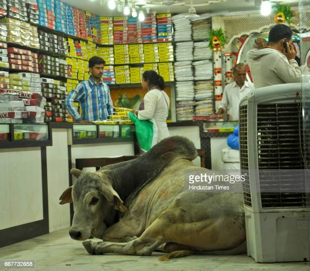 A bull sits in front of a cooler inside a saree store at Godowlia Market on April 12 2017 in Varanasi India The cows and bulls are considered sacred...
