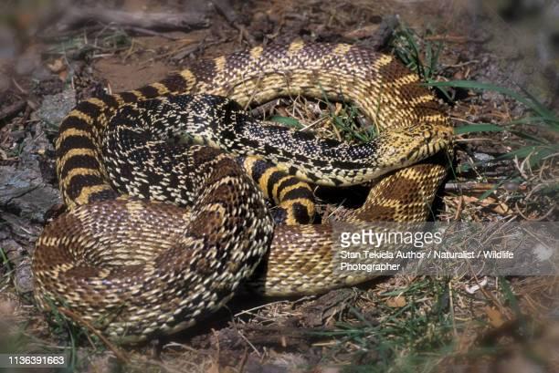 bull snake, bullsnake, coiled - bull snake stock pictures, royalty-free photos & images