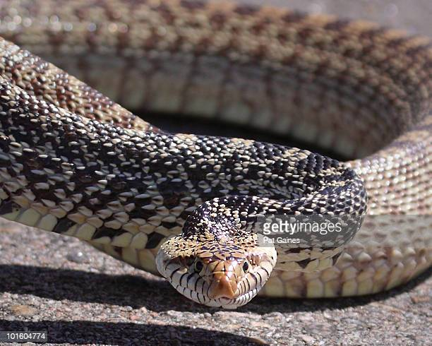 bull snake coiled for strike - bull snake stock pictures, royalty-free photos & images