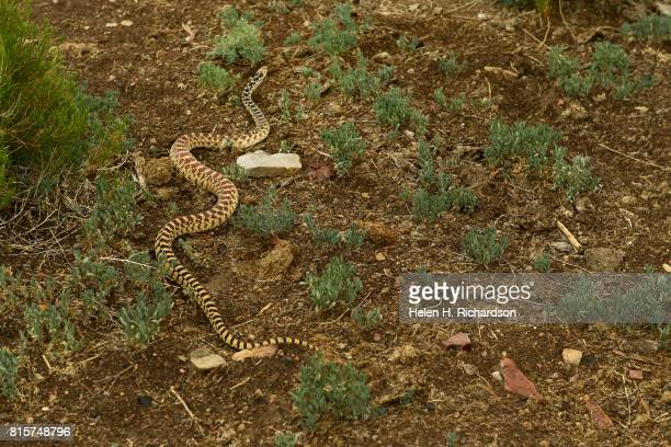 A bull snake moves through the grasses and sage brush at the Nottingham Ranch on July 11 2017 in Burns Colorado The Nottingham family are well known...