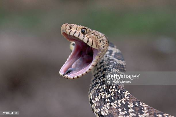 bull snake showing defensive behavior - bull snake stock pictures, royalty-free photos & images
