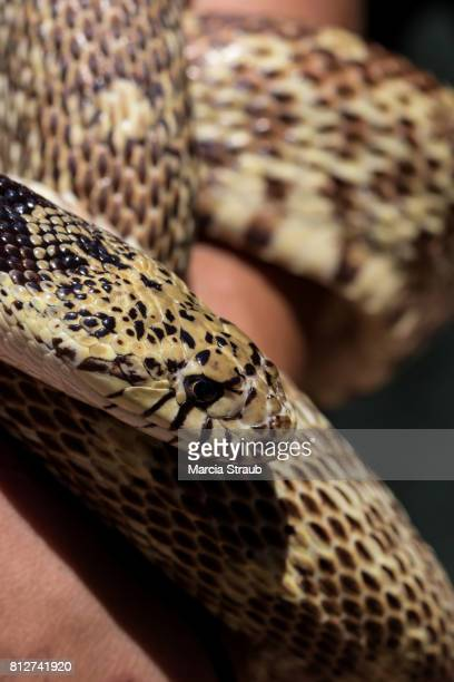 bull snake up close - bull snake stock pictures, royalty-free photos & images
