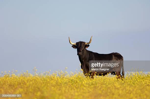 bull standing in field - 雄牛 ストックフォトと画像