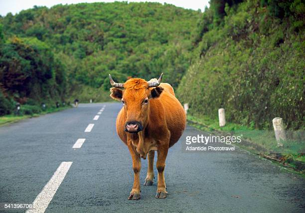 bull standing in the middle of the road on madeira island - toro animal fotografías e imágenes de stock