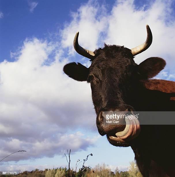 bull sticking tongue up nose - 動物の舌 ストックフォトと画像