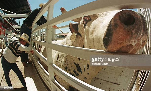 A bull sticks his head out of the chute during the fourth round of Bull Riding competition at the Cheyenne Frontier Days Rodeo July 27 2001 in...