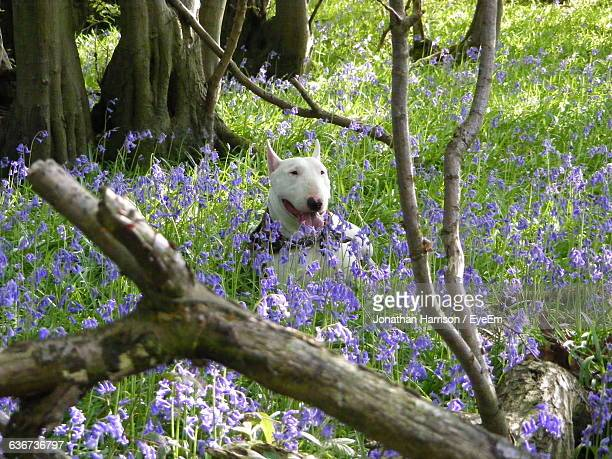 Bull Terrier Amidst Purple Flowers In Forest