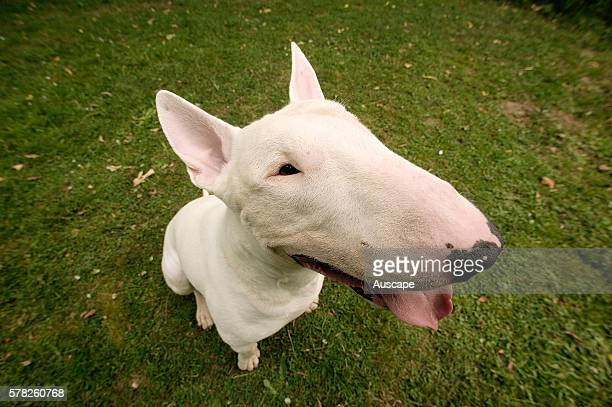 Bull terrier Canis familiaris portrait from overhead angle This breed was developed from crosses with the bulldog and Old English terrier
