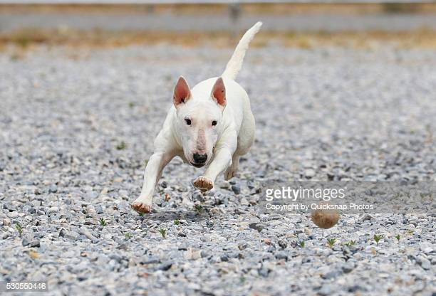 Bull Terrier chasing a ball in the rocks