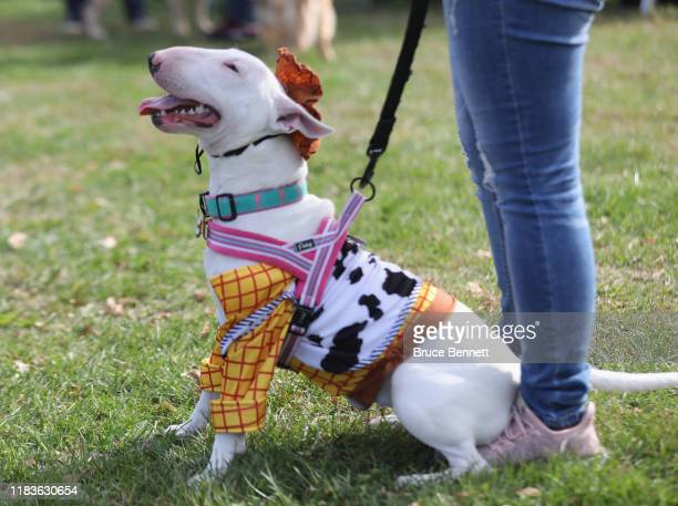 Bull Terrier dog in a Halloween costume parades around Eisenhower Park during Barkfest on October 26, 2019 in East Meadow, New York.