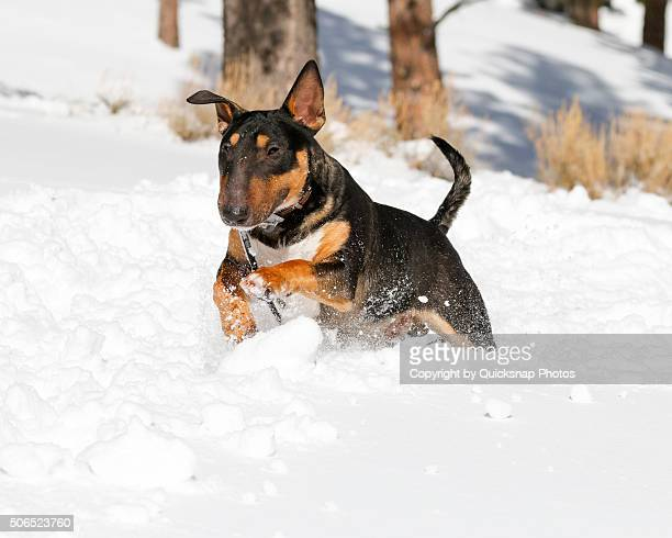 bull terrier in the snow - bull terrier stock pictures, royalty-free photos & images