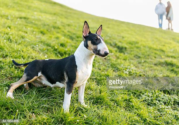 bull terrier on a meadow - bull terrier stock photos and pictures