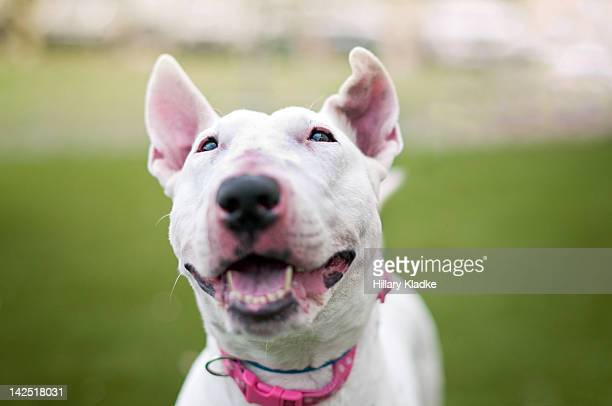 bull terrier - bull terrier stock pictures, royalty-free photos & images