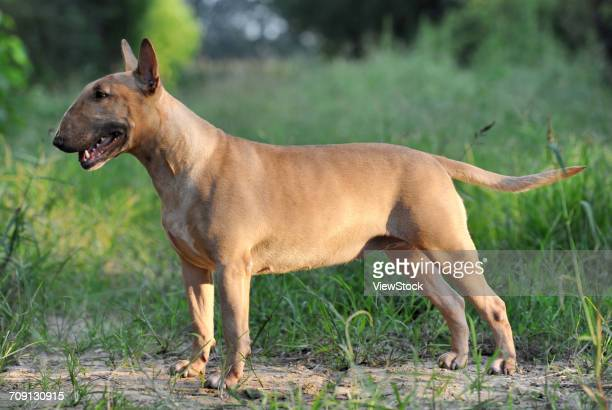 bull terrier - bull terrier stock photos and pictures