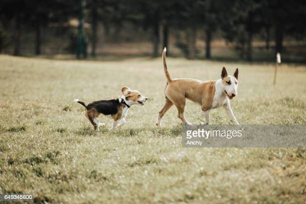 bull terrier playing with the stray dog in the park - bull terrier stock photos and pictures
