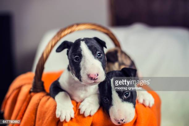 bull terrier puppies in a basket - bull terrier stock pictures, royalty-free photos & images