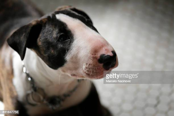 bull terrier puppy - bull terrier stock photos and pictures